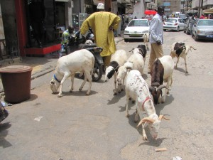 Goat traffic in the streets of Dakar